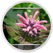 From Bud To Bloom - Bee Balm Named Panorama Pink Round Beach Towel