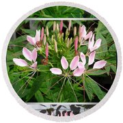 From Bud To Bloom - Cleome Named Pink Queen Round Beach Towel