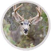Funny Mule Deer Buck Portrait With Velvet Antler Round Beach Towel