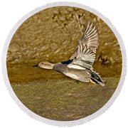 Gadwall Drake In Flight Round Beach Towel