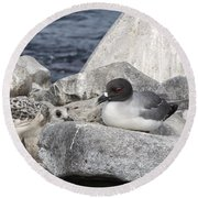 Galapagos Seagull And Her Chick Round Beach Towel