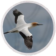 Gannet In Flight Round Beach Towel
