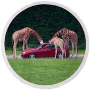 Giraffe. Animal Studies Round Beach Towel