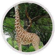 Giraffe Eats-09053 Round Beach Towel