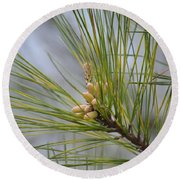 Golden Catkins Of The Great Pine Round Beach Towel