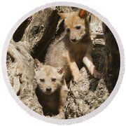 Golden Jackal Canis Aureus Cubs Round Beach Towel