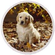 Golden Retriever Puppy Dog In Fallen Round Beach Towel
