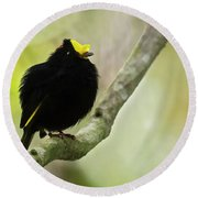 Golden-winged Manakin Round Beach Towel