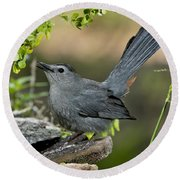 Gray Catbird Drinking Round Beach Towel