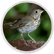 Gray-cheeked Thrush Catharus Minimus Round Beach Towel
