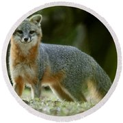 Gray Fox On Alert Round Beach Towel