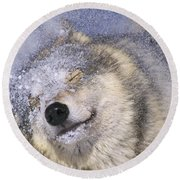 Gray Wolf Canis Lupus Shaking Snow Off Round Beach Towel