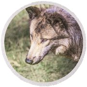 Gray Wolf Grey Wolf Canis Lupus Round Beach Towel