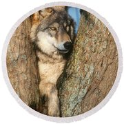 Gray Wolf In Tree Canis Lupus Round Beach Towel