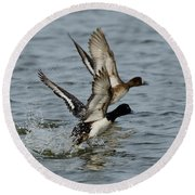 Greater Scaup Pair Round Beach Towel