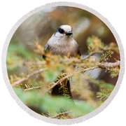 Grey Jay Perisoreus Canadensis Watching Perched Round Beach Towel
