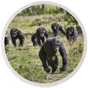 group of Common Chimpanzees running Round Beach Towel