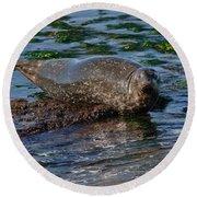 Harbor Seal At Low Tide Round Beach Towel