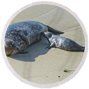 Harbor Seal Suckling Young Round Beach Towel