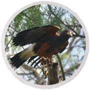 Harris Hawk Round Beach Towel