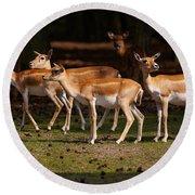 Herd Of Blackbuck Antilopes In A Dark Forest Round Beach Towel