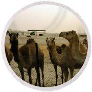 Herd Of Camels In A Farm, Abu Dhabi Round Beach Towel
