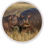 Hippo Cow And Calf Round Beach Towel