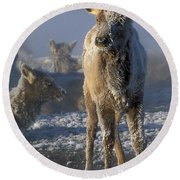 Hoarfrosted Elk Calf Round Beach Towel