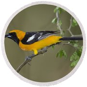 Hooded Oriole Round Beach Towel