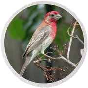 House Finch At Rest Round Beach Towel