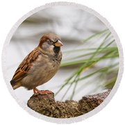 House Sparrow Passer Domesticus On The Perch Round Beach Towel