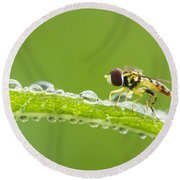 Hoverfly In Dew Round Beach Towel