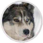 Husky Dog Breading Centre Round Beach Towel by Lilach Weiss