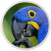 Hyacinth Macaw Anodorhynchus Round Beach Towel
