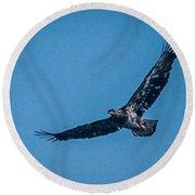 Immature Bald Eagle In Flight Round Beach Towel