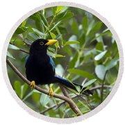 Immature Yucatan Jay Round Beach Towel