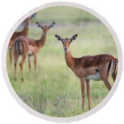 Impalas Aepyceros Melampus Petersi Round Beach Towel
