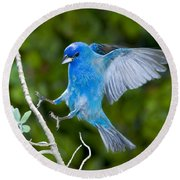 Indigo Bunting Alighting Round Beach Towel
