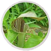 Jack In The Pulpit - Arisaema Triphyllum Round Beach Towel