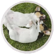 Jack Russell Puppies Round Beach Towel