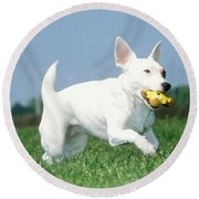 Jack Russell Terrier Dog Round Beach Towel