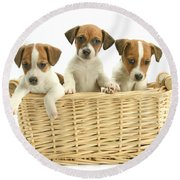 Jack Russell Terrier Puppies Round Beach Towel