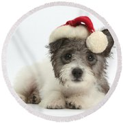 Jack Russell X Westie Pup Wearing Round Beach Towel