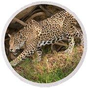 Jaguar Panthera Onca Foraging Round Beach Towel