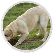 Labrador Checking Hole Round Beach Towel