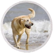 Labrador Dog Playing On Beach Round Beach Towel