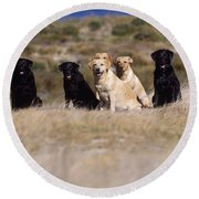 Labrador Dogs Waiting For Orders Round Beach Towel