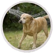 Labrador Playing In Water Round Beach Towel