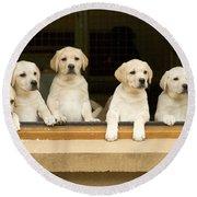 Labrador Puppies At Window Round Beach Towel