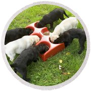 Labrador Puppies Eating Round Beach Towel